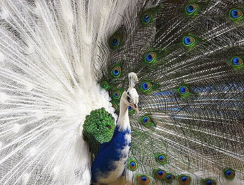 صور طاوس , صور ريش الطاوس , صور للطاوس جميلة