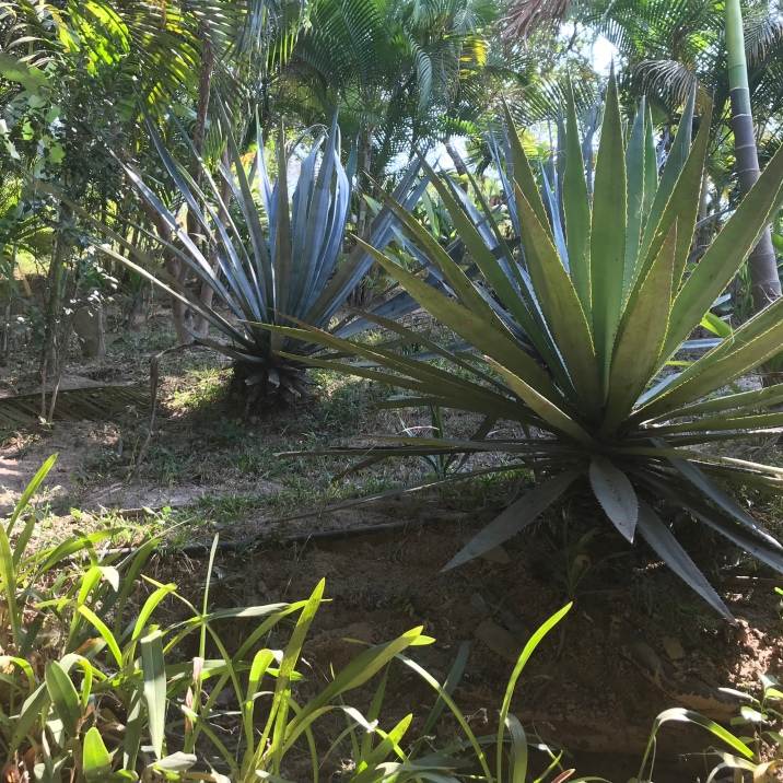 Unsuspecting Blue Agave